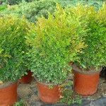 buxus sempervirens - simsir